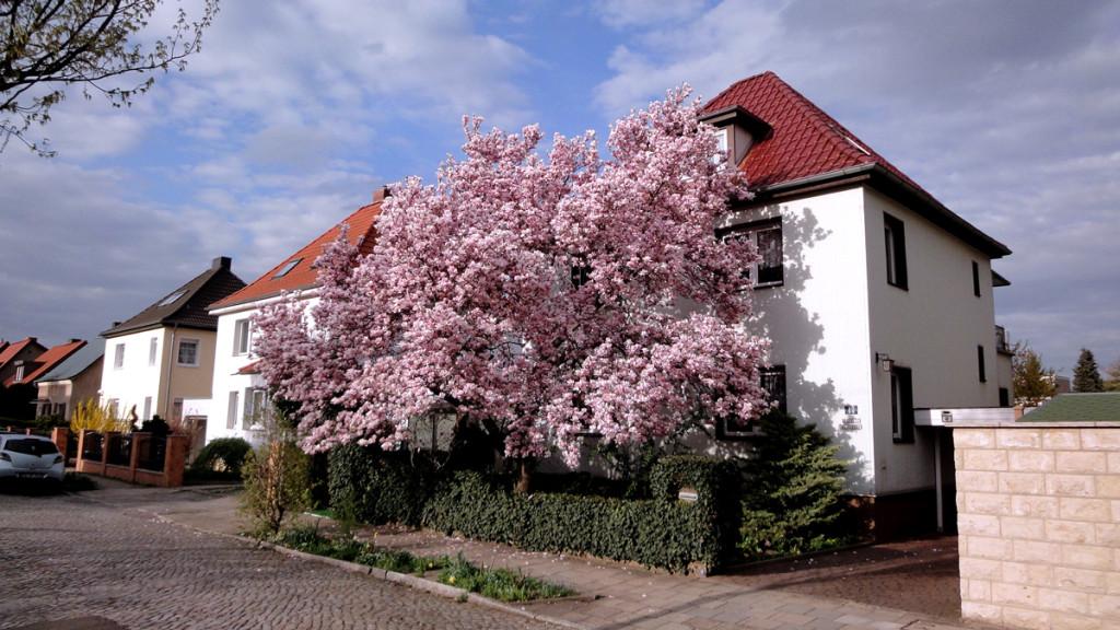 Tulpenbaum in der Friedrich-Aue-Straße