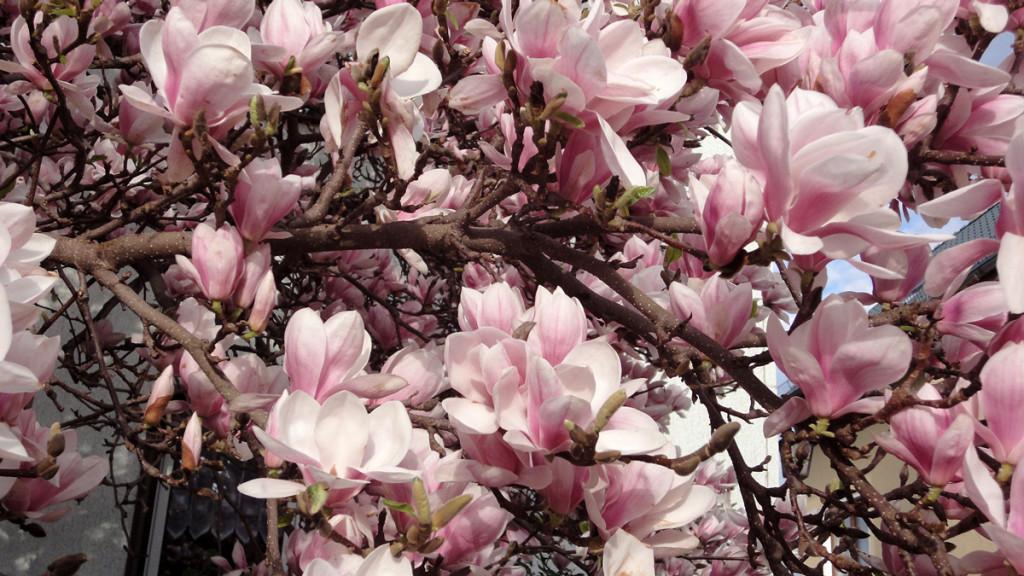 Blüten eines Tulpenbaumes